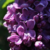 Purple Lilacs 3