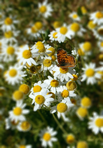 Butterfly and Daisies