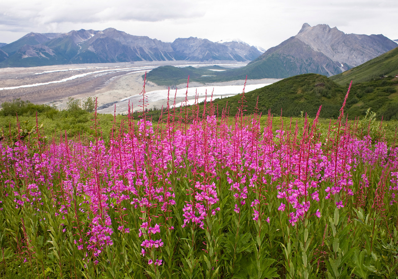 Fireweed on the Bonanza Mine Trail (with Kennecott & Root Glaciers in background)