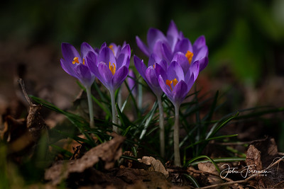 Crocuses, Dorset