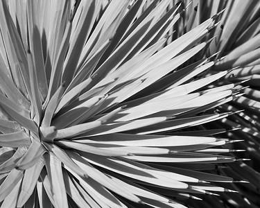 Yucca Crown B&W