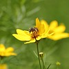 Honeybee and Coreopsis