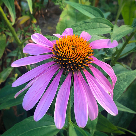 Jim's Coneflowers