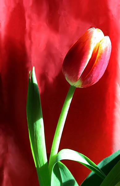 Red Tulip 4