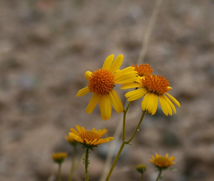 many flowered golden eye heliomeris viguiera