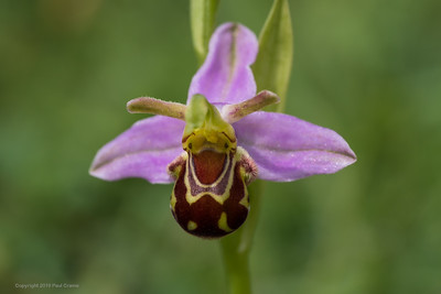 Single Bee Orchid - Decoy Heath - 9th June 2018