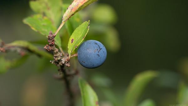 Sloe Blue