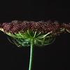 Daucus Carota (Wild Carrot)