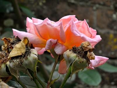 Nikon 1 Rose 0652
