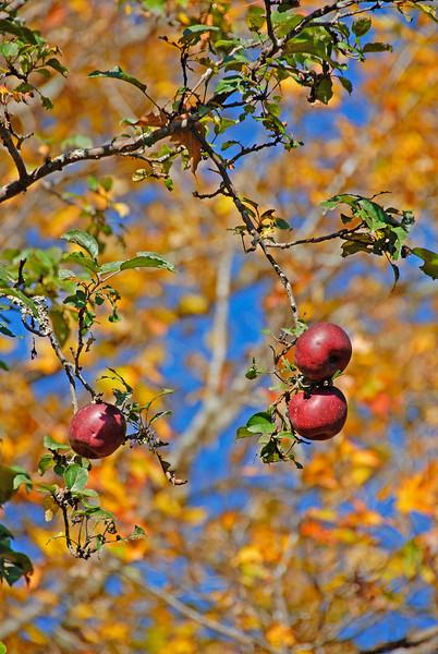 Apples-04