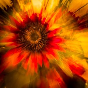 Sunflower Explosion