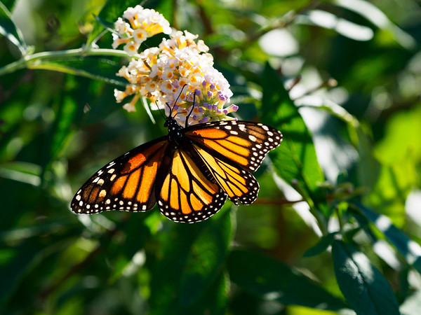 Pollination Monarch