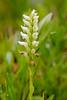 Ladies' Tresses Orchid