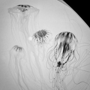 Jellyfish, New England Aquarium II