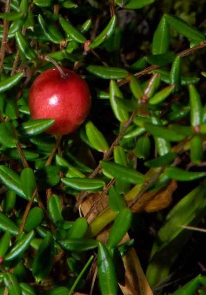 Cranberry-02