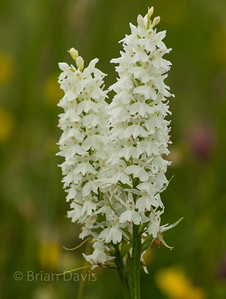 Common Spotted Orchid, white variation