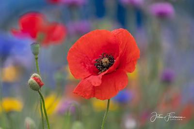 Poppy, Dorset