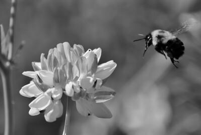 Bumblebee and clover, mono macro