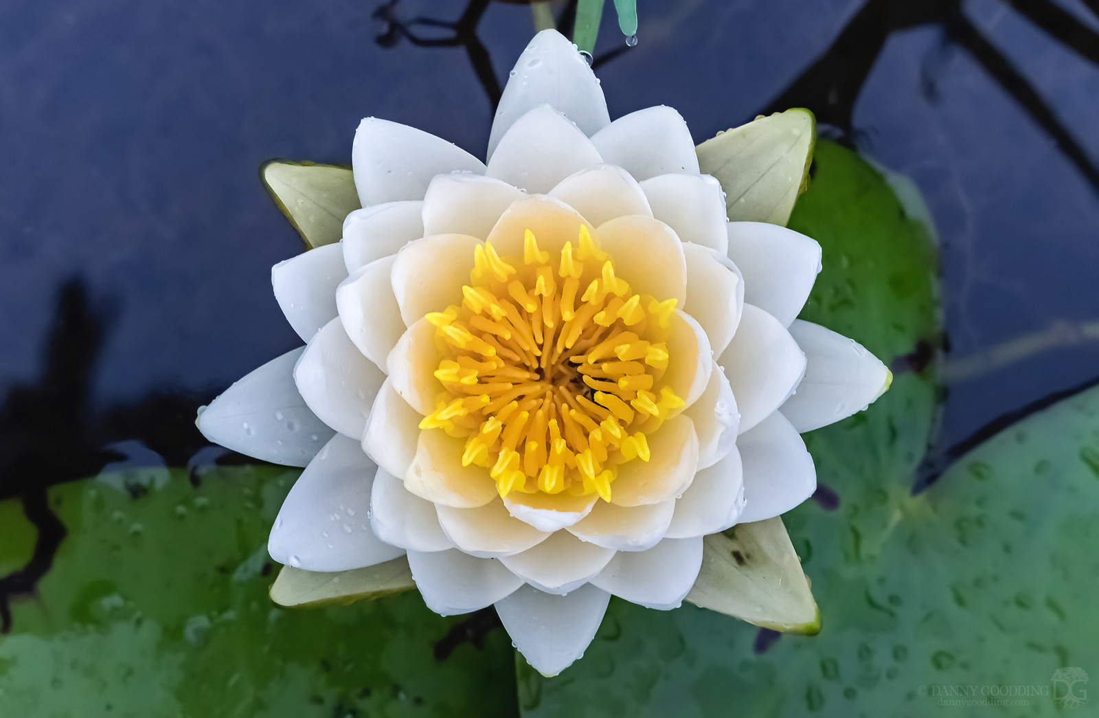 American white waterlily (Nymphaea odorata) from above [OC] [1600×1045]