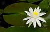 WaterLily-05