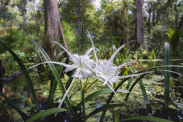 Spring run spiderlily aka streambank spiderlily