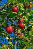 Apples-01