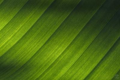 Minimalist bird of paradise leaf macro