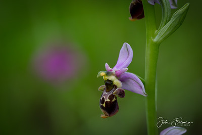 Bee Orchid, Gers