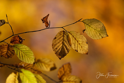 Beech leaves, Hampshire