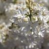 White Lilac 1