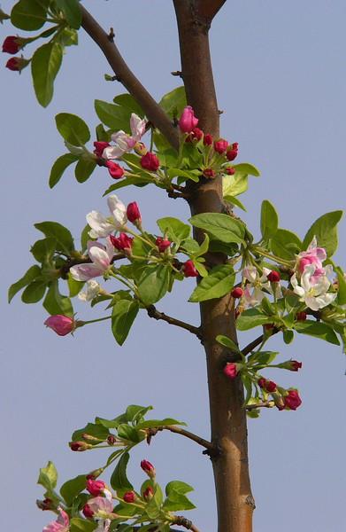 AppleBloom-02
