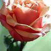 Peach Rose 2
