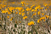 Desert Sunflowers