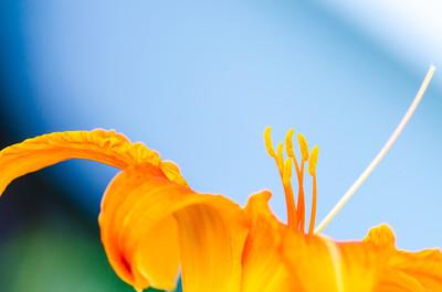 Orange day lily, color macro II