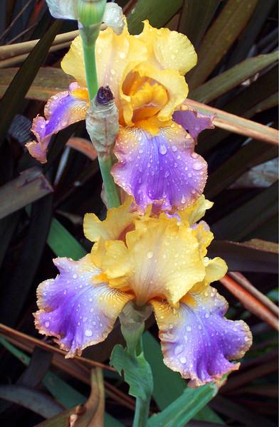 Yellow and Purple Iris
