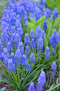 Grape Hyacinth at Tivoli