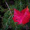 Red leaf on pine branch