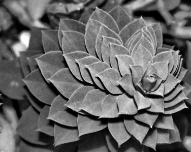 Succulent Bloom - BW