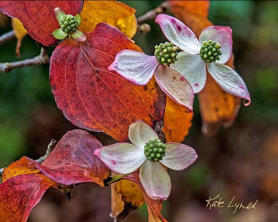 AutumnDogwood