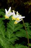 Dutchman'sBreeches-11
