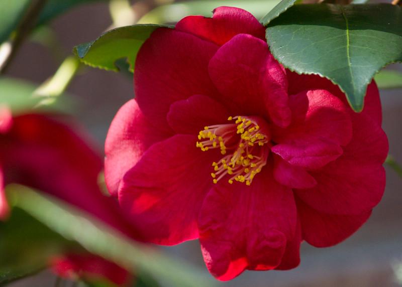 Bright Red Camellia