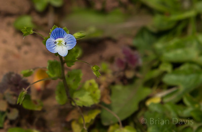 Common Field Speedwell 2