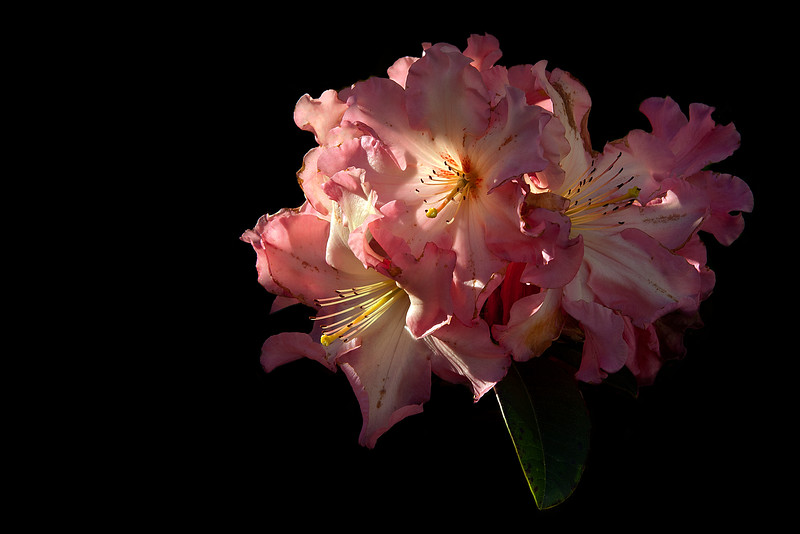 Rose Rhododendron Blossom