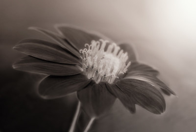 Zinnia Black & White