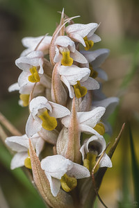 Centipede grass orchid