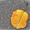 """Yellow on Gray"" - Flowering Pear Tree Leaf - Houston, TX"