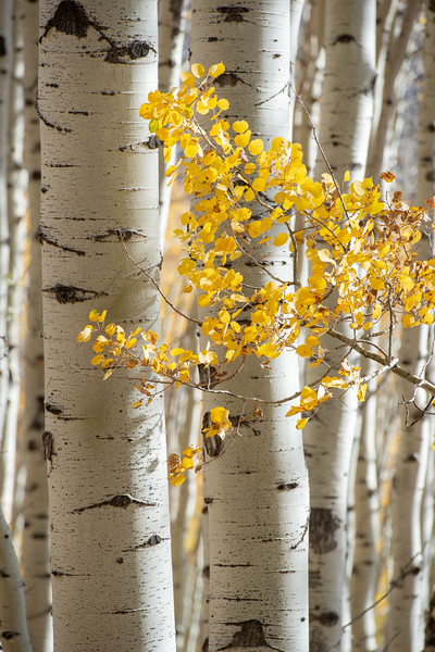 Aspen near Ridgeway, Colorado