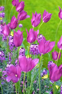 Purple Flowers at Tivoli