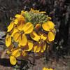 Western Wallflower (Erysimum capitatum ssp. capitatum)
