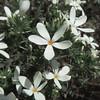 Summer Snow (Leptosiphon floribundus ssp. glaber)
